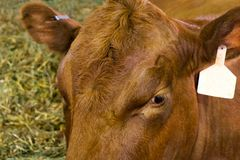 Καφετιά αγελάδα με την ετικέττα αυτιών στον πυροβολισμό κινηματογραφήσεων σε πρώτο πλάνο στοκ εικόνες με δικαίωμα ελεύθερης χρήσης