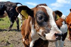 καφετιά αγελάδα μόσχων Στοκ Φωτογραφία