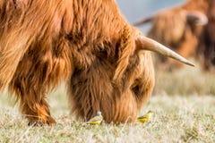 Καφετιά αγελάδα ορεινών περιοχών που προσέχουν από δύο μεγάλα στοκ εικόνα