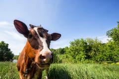 Καφετιά αγελάδα στο πράσινο λιβάδι Στοκ Εικόνες