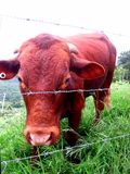 καφετιά αγελάδα Στοκ φωτογραφίες με δικαίωμα ελεύθερης χρήσης
