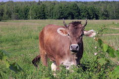 Καφετιά αγελάδα με τα κέρατα που εξετάζουν μας και γραφικό αγροτικό mea Στοκ φωτογραφίες με δικαίωμα ελεύθερης χρήσης
