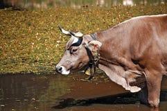 Καφετιά αγελάδα με τα κέρατα σε μια λίμνη Στοκ εικόνα με δικαίωμα ελεύθερης χρήσης