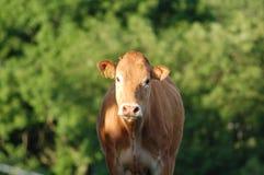 καφετιά αγελάδα Στοκ φωτογραφία με δικαίωμα ελεύθερης χρήσης