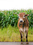 καφετιά αγελάδα Στοκ Φωτογραφίες