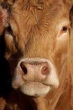 καφετιά αγελάδα Στοκ Εικόνες
