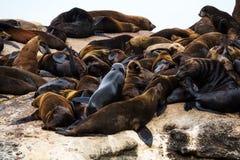 Καφετιά αποικία pusillus Arctocephalus σφραγίδων γουνών στο νησί σφραγίδων, Νότια Αφρική Στοκ Φωτογραφίες