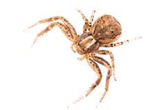 Καφετιά αράχνη από την κορυφή Στοκ Φωτογραφίες