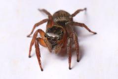 Καφετιά αράχνη αλτών Στοκ φωτογραφία με δικαίωμα ελεύθερης χρήσης
