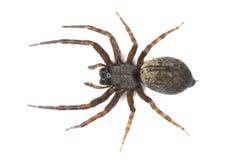 Καφετιά αράχνη Στοκ φωτογραφία με δικαίωμα ελεύθερης χρήσης