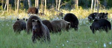 Καφετιά αρκούδες & x28 Ursus arctos& x29  στο έλος στο θερινό δάσος Στοκ Εικόνες