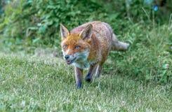 Καφετιά αλεπού στοκ εικόνες με δικαίωμα ελεύθερης χρήσης