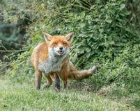 Καφετιά αλεπού στοκ εικόνα με δικαίωμα ελεύθερης χρήσης