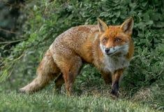 Καφετιά αλεπού στοκ εικόνες