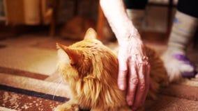 Καφετιά γάτα, κόκκινη τιγρέ αρσενική γάτα, γάτα πιπεροριζών απόθεμα βίντεο