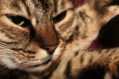 Καφετιά γάτα που βάζει στα πόδια της με τα μουστάκια στοκ εικόνα