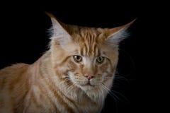 Καφετιά γάτα που εξετάζει τη κάμερα Στοκ Εικόνες