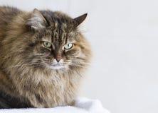 Καφετιά γάτα σκουμπριών της σιβηρικής φυλής στον κήπο Στοκ Εικόνες