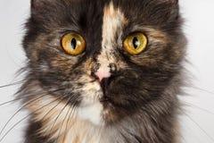 Καφετιά γάτα του Μαίην Coon ταρταρουγών κινηματογραφήσεων σε πρώτο πλάνο που φαίνεται κεκλεισμένων των θυρών στοκ φωτογραφία με δικαίωμα ελεύθερης χρήσης