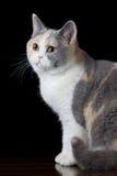 Καφετιά γκριζόλευκη γάτα που ανατρέχει Στοκ Φωτογραφίες