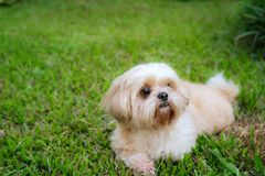 Καφετιά γούνα shih-Tzu φυλής σκυλιών που είναι στον κήπο της χλόης στοκ φωτογραφίες