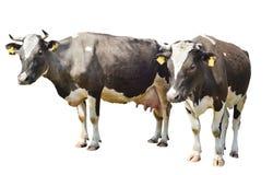 Καφετιά επισημασμένη αγελάδα δύο που απομονώνεται σε ένα λευκό Στοκ φωτογραφίες με δικαίωμα ελεύθερης χρήσης