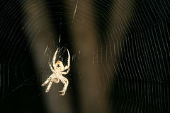 Καφετιά επισημασμένη αράχνη Orbweaver στον περίπλοκο Ιστό #3 Στοκ Εικόνες