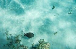 καφετιά Ερυθρά Θάλασσα χλωρίδας πανίδας surgeonfish Στοκ Φωτογραφίες