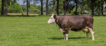 Καφετιά ελβετική αγελάδα σε ένα ολλανδικό τοπίο Στοκ Εικόνα