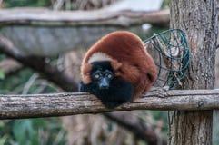 Καφετιά ζούγκλα ζωική Μαδαγασκάρη κερκοπιθήκων στοκ εικόνες