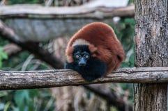 Καφετιά ζούγκλα ζωική Μαδαγασκάρη κερκοπιθήκων στοκ εικόνες με δικαίωμα ελεύθερης χρήσης