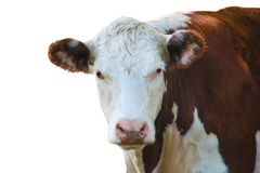 Καφετιά και άσπρα μάτια αγελάδων η κάμερα που απομονώνεται στο λευκό Στοκ φωτογραφία με δικαίωμα ελεύθερης χρήσης
