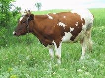 Καφετιά και άσπρη αγελάδα λιβάδι θερινού στο πράσινο λιβαδιού Στοκ εικόνα με δικαίωμα ελεύθερης χρήσης