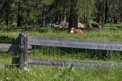 Καφετιά και άσπρη επισημασμένη βοσκή αγελάδων στη βοσκή των εδαφών: Ιταλικά Στοκ εικόνα με δικαίωμα ελεύθερης χρήσης