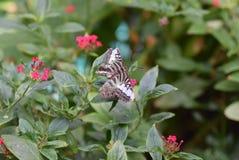 Καφετιά και άσπρη πεταλούδα Στοκ Εικόνες