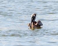 Καφετιά κολύμβηση πελεκάνων στοκ εικόνα