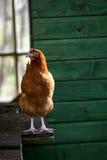 Καφετιά κότα στοκ φωτογραφία