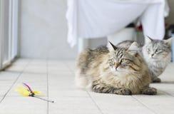 καφετιά μακρυμάλλης γάτα με ένα παιχνίδι Στοκ Εικόνες