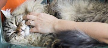 Καφετιά μακρυμάλλης γάτα της σιβηρικής φυλής, χάδι στο χρόνο αγκαλιάς Στοκ Φωτογραφίες