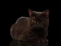 Καφετιά μονόφθαλμη γάτα που βρίσκεται στο Μαύρο Στοκ Εικόνες