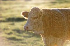 Καφετιά μπερδεμένη αγελάδα με το rimlight Στοκ φωτογραφία με δικαίωμα ελεύθερης χρήσης