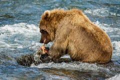 Καφετιά μωρό-αρκούδα στην Αλάσκα Στοκ Φωτογραφίες