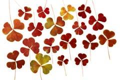 Καφετιά ξηρά πιεσμένα φύλλα τριφυλλιού που απομονώνονται στο άσπρο υπόβαθρο Ερμπάριο Μπορέστε να χρησιμοποιηθείτε, floristry ή το στοκ φωτογραφίες με δικαίωμα ελεύθερης χρήσης
