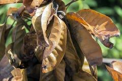 Καφετιά ξηρά φύλλα του φυτού μάγκο με την ηλιοφάνεια στο πράσινο υπόβαθρο Στοκ φωτογραφίες με δικαίωμα ελεύθερης χρήσης