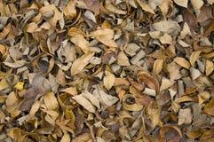 καφετιά ξηρά φύλλα φθινοπώρ&o Στοκ Φωτογραφίες