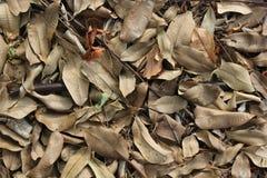 Καφετιά ξηρά φύλλα που βάζουν στο έδαφος Στοκ Εικόνες