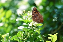 Καφετιά πέρκα πεταλούδων στα άσπρα λουλούδια και τη φρέσκια πράσινη ά στοκ εικόνα