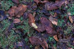 Καφετιά πεσμένα φύλλα αφορημένος ένα κρεβάτι της χλόης το φθινόπωρο στοκ φωτογραφία με δικαίωμα ελεύθερης χρήσης