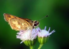 Καφετιά πεταλούδα και λουλούδι δύο Στοκ Φωτογραφίες
