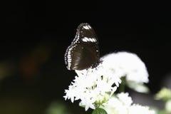 Καφετιά πεταλούδα κουρευτών ζώων Στοκ Φωτογραφίες